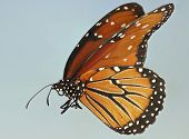 A Close Up Of A Queen Butterfly