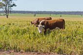 foto of hereford  - 2 cows grazing in a crop damaged by frost  - JPG
