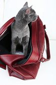 Cat in dark red bag on light background