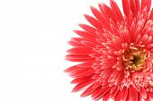 Beautiful gerbera with drops isolated on white
