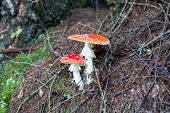 two spotted toadstools in the woods