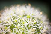 Blooming White Ornamental Onion (allium)
