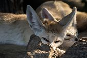 Wild Dog Fennec Lay Down And Squints