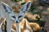 Fox Fennec Opened Eyes And Looks