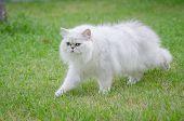 White Persian Cat Walking