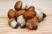 Mushrooms Boletus