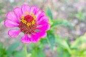 Pink Zinnia Flower At Top Left Closeup