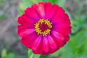 stock photo of zinnias  - Red zinnia blossom at center closeup - JPG
