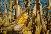 image of corn-silk  - United States is - JPG