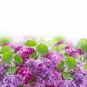 foto of lilac bush  - Bush of  of Lilac flowers on white background - JPG