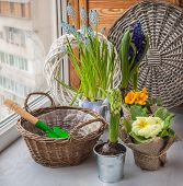 Hyacinths And Primroses Near The Basket And A Shovel On The Window