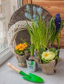 stock photo of cowslip  - Hyacinth and primrose blooming in the window - JPG