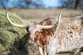 Texas Longhorn Feeding In The Pasture