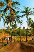Grove With Tall Coconut Trees In India
