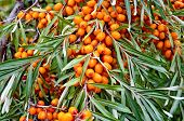 picture of sea-buckthorn  - Branch with ripe orange sea - JPG