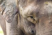 stock photo of indian elephant  - Close up of Indian elephant face Malaysia  Asia - JPG