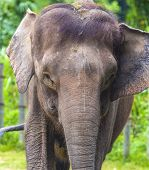 picture of indian elephant  - Close up of Indian elephant face Malaysia  Asia - JPG