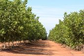 stock photo of walnut-tree  - rows of young walnut trees on a plantation - JPG