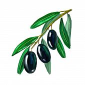olives on branch Vector illustration  hand drawn  painted watercolor