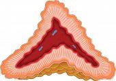 Adrenal Gland - Illustration