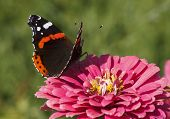 foto of zinnias  - Red Admiral butterfly on zinnia flower over green