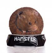 stock photo of hamster  - purebred syrian hamster posing on white background - JPG