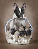 French Bulldog Mommy With Puppies In The Basket