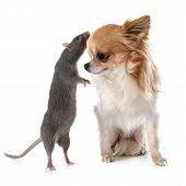Gray Rat And Chihuahua