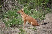 Dhole- sitting pretty!!