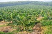 Постер, плакат: Palm Oil trees in palm oil estate plantation