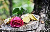 rose flower on a tree stump