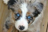 picture of puppy eyes  - A fantastic representation of a Border Aussie puppy with merle coloring and blue eyes - JPG