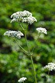 Valeriana Officinalis, Valeriaan kruid