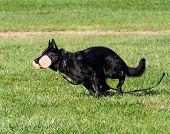 Black German Shepherd In Obedience Training
