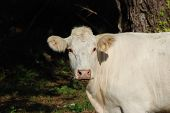 stock photo of cattle breeding  - Charolais cattle are a beef breed which originated in Charolais - JPG