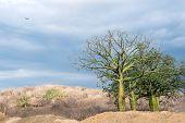 Giant Ceiba Trees Grows Up In Sunny Coast Of Ecuador