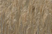Reed swaying in the wind dry grass. Panicles of seeds