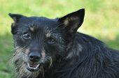 image of mongrel dog  - Dog mongrel with tongue. Human friend. Animal. ** Note: Soft Focus at 100%, best at smaller sizes - JPG
