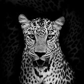 foto of color spot black white  - Closeup Leopard black and white color portrait animal wildlife Black color background - JPG