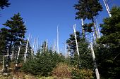 Insect Devastation - Clingman's Dome, Tennessee