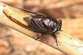 stock photo of cricket insect  - Cicadas on the trees, close up insect from nature