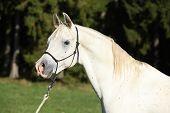 Amazing White Stallion Of Arabian Horse