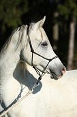 stock photo of arabian horse  - Portrait of amazing white stallion of arabian horse