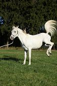 Beautiful White Arabian Stallion Kicking