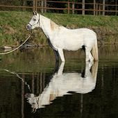 pic of arabian horse  - Amazing white arabian horse standing in the water
