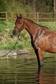 picture of arabian horse  - Amazing brown arabian horse standing in the water