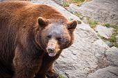 Cinnamon Black Bear Wildlife In North Carolina Mountains