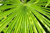 picture of saw-palmetto  - Vibrant green Palm Tree frond background texture - JPG