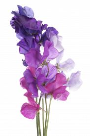 picture of sweet pea  - Studio Shot of Multicolored Sweet Pea Flowers Isolated on White Background - JPG