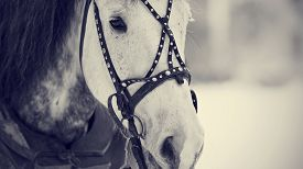 foto of stallion  - Muzzle of a white horse in a harness - JPG